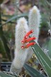 与红色花的仙人掌在一个热带庭院里 库存照片