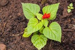 与红色花的Salvia幼木在富有的沃土土壤 免版税库存照片