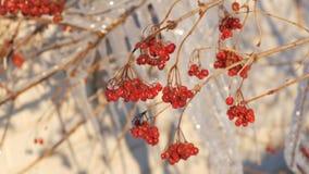 与红色荚莲属的植物的分支在小组背景闪耀和淡光融解的美好的美丽如画的冰柱  股票视频