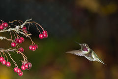 与红色莓果分支的蜂鸟。 免版税库存照片