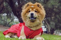与红色衣服的咸菜狗 图库摄影