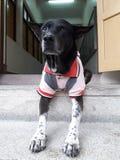 与红色衬衣的黑白狗 库存图片