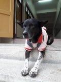 与红色衬衣的黑白狗 免版税库存照片