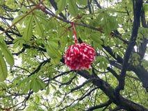 与红色装饰的栗树 免版税库存照片
