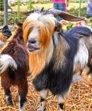 与红色轰隆的山羊,集居区 免版税库存图片