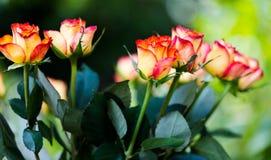 与红色边缘关闭的黄色玫瑰宏观射击集中于头 库存图片