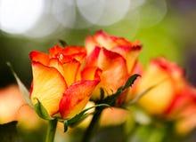 与红色边缘关闭的黄色玫瑰宏观射击集中于头 库存照片
