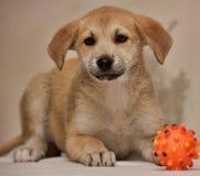 与红色逗人喜爱的小狗和玩具的灰棕色 库存照片