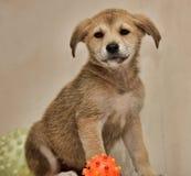与红色逗人喜爱的小狗和玩具的灰棕色 免版税库存图片