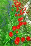 与红色郁金香和葡萄风信花的花床 库存图片