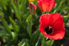 与红色郁金香的春天主题 库存照片
