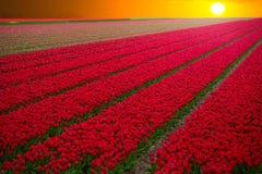 与红色郁金香的领域在荷兰 图库摄影