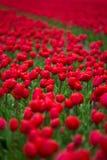 与红色郁金香的领域在荷兰 免版税库存照片