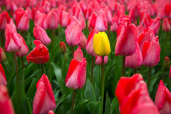 与红色郁金香的领域在荷兰 库存照片