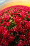 与红色郁金香的领域在荷兰 免版税库存图片