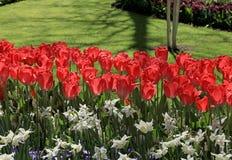 与红色郁金香的风景在春天开了花 免版税库存图片