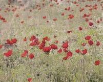 与红色银莲花属的葡萄酒明信片 库存图片