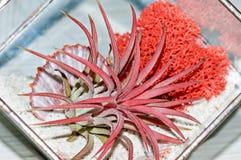 与红色青苔和壳玻璃罐的红色多汁Haworthia 免版税库存图片