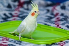 与红色面颊和长的羽毛的一只黄色科雷利亚鹦鹉 免版税库存照片