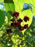 与红色颜色美丽的种子果子装饰背景纹理的宏观照片在庭院树的分支的 免版税库存图片