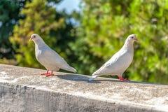 与红色额嘴的两只白色鸽子 免版税库存图片