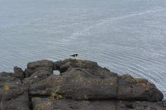 与红色额嘴的欧亚蛎鹬黑鸟在岩石在冰岛 免版税图库摄影