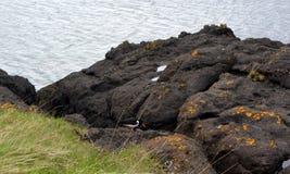 与红色额嘴的欧亚蛎鹬黑鸟在岩石在冰岛 库存图片