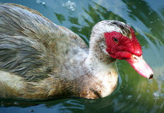 与红色额嘴的灰色鸭子 免版税图库摄影