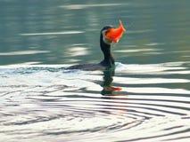 与红色鱼的巨大comorants 免版税图库摄影