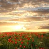 与红色鸦片和春黄菊-梦想的日落场面的麦田 图库摄影
