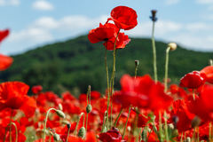 与红色鸦片的一个大领域的开花的鸦片与mountai的 图库摄影