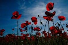 与红色鸦片的一个大领域的开花的鸦片在backg的 免版税库存照片