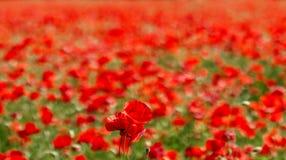 与红色鸦片的一个大领域的开花的鸦片在backg的 免版税图库摄影