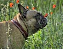 与红色鸦片的法国牛头犬有绿色背景在乌克兰的草甸 图库摄影