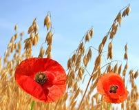 与红色鸦片的燕麦领域 免版税库存图片