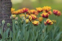 与红色黄色郁金香的春天背景 库存图片