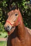 与红色绳索三角背心的惊人的棕色马 库存图片