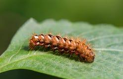 与红色头发和红色和白色斑点的毛虫 库存图片