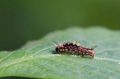 与红色头发和红色和白色斑点的毛虫 免版税库存照片