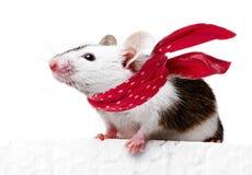 与红色围巾的滑稽的老鼠 库存图片