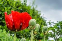 与红色绽放和绿色叶子的鸦片 免版税库存图片