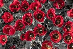 与红色黄色瓣和灰色叶子的郁金香顶视图 库存照片