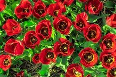 与红色黄色瓣和绿色淡黄色的过饱和的郁金香 免版税图库摄影