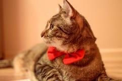 与红色bowtie的美丽的猫 库存图片