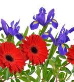 与红色gerberaand虹膜花的无缝的边界 查出 库存图片