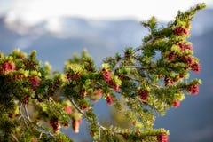 与红色Pinecones的一棵美丽的树在与天空蔚蓝和白色云彩的一个夏日在洛矶山国家公园在科罗拉多 免版税库存照片