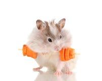与红萝卜棒的逗人喜爱的仓鼠 库存照片