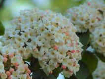 与纹理背景装饰庭院种类的宏观照片花在颜色低脂奶油树荫下  库存照片