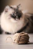 与线团的被弄脏的西伯利亚猫 免版税库存图片