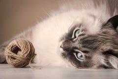 与线团的西伯利亚猫 免版税库存照片
